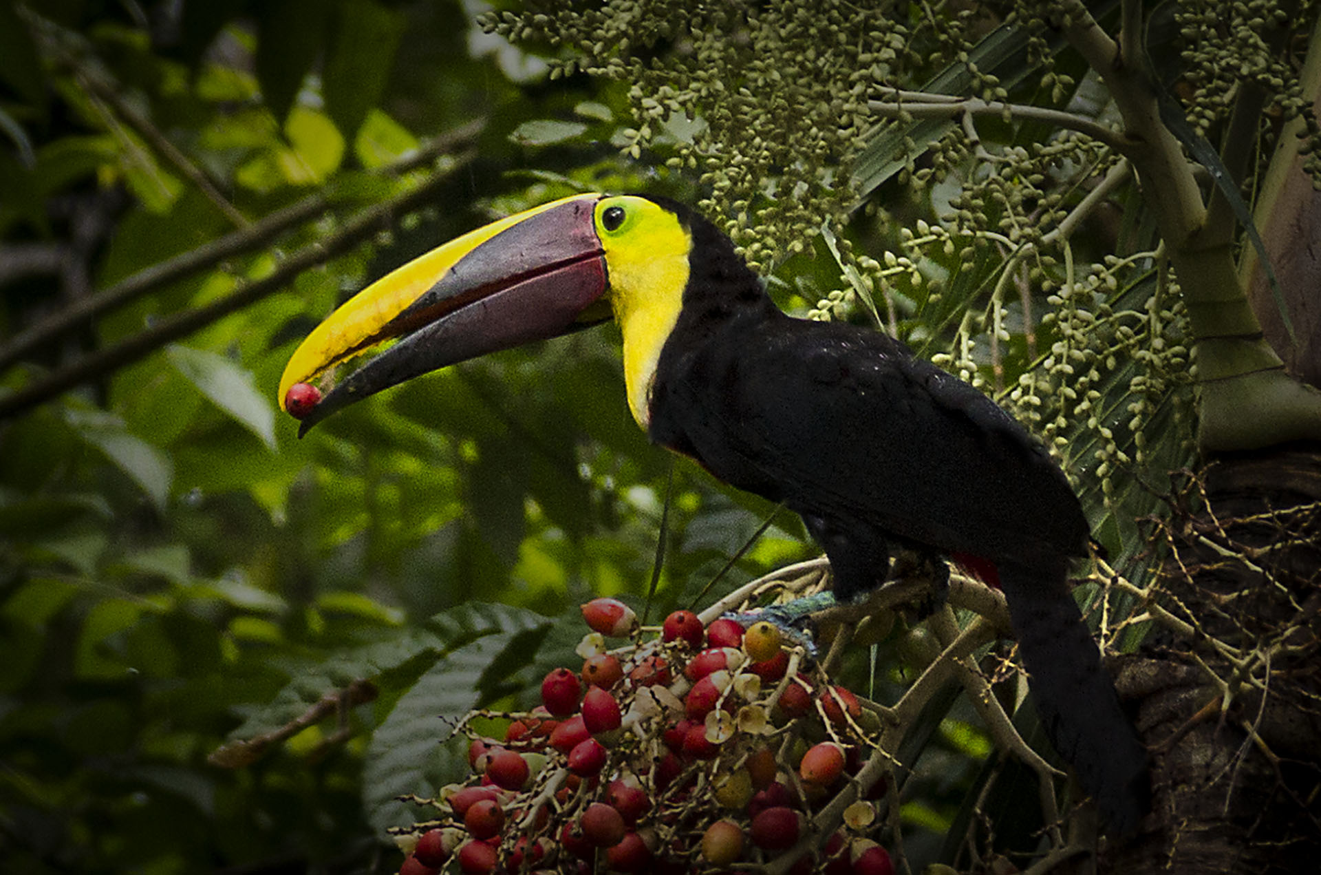 Toucan in tree Punta Leona