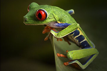 red eyed frog2 Pura Vida Photo Tour.jpg